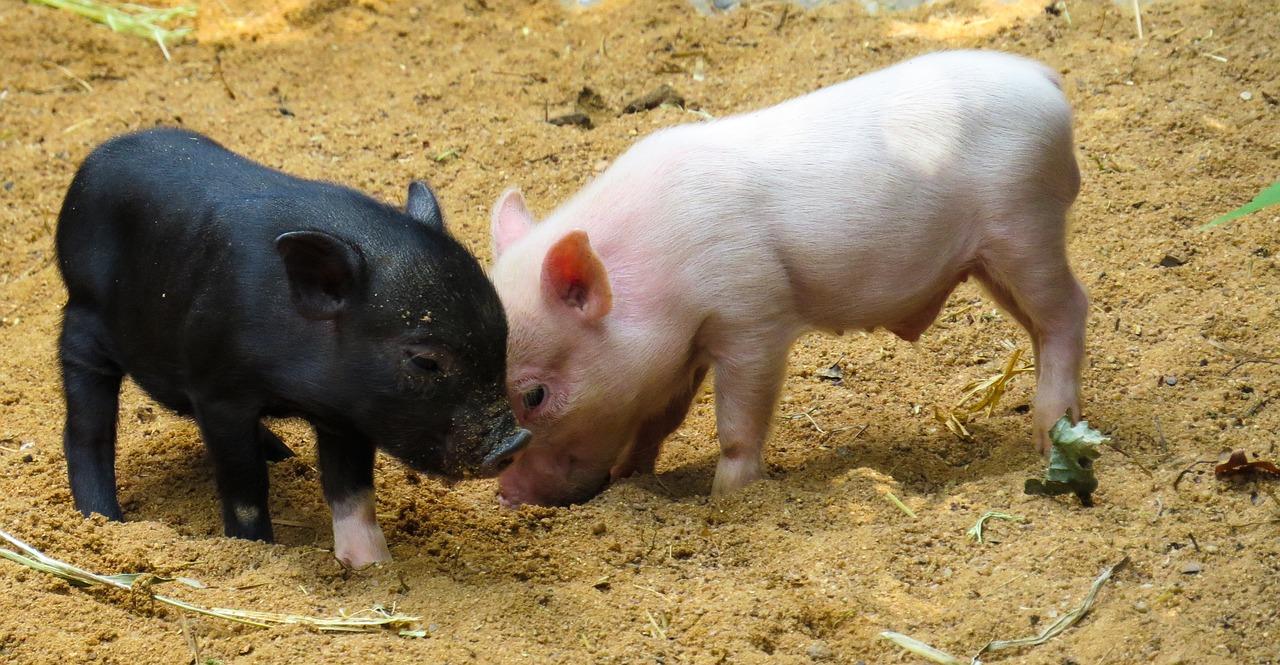 【英語育児】pepa pig導入